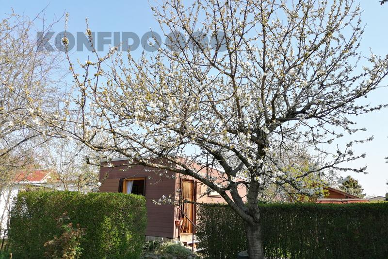 Bratislava Konfido 12 Zlate piesky zahrada pohlad na pekny dom rozkvitnuta ceresna slnecny pozemok copy